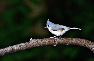 Photograph - Back Yard Bird by Jeffrey PERKINS