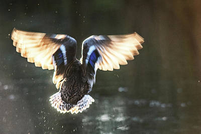 Photograph - Backlight Flight  by Cliff Norton