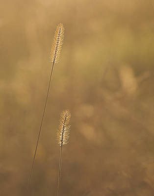 Backlight Grass Stalks Art Print by Barry Culling
