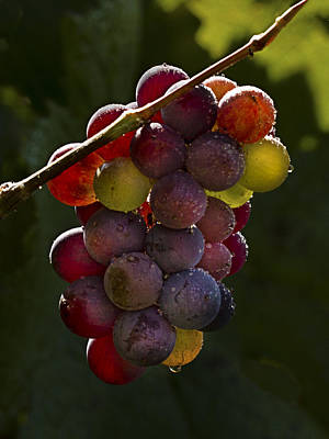 Photograph - Backlighting On Grapes by Jean Noren