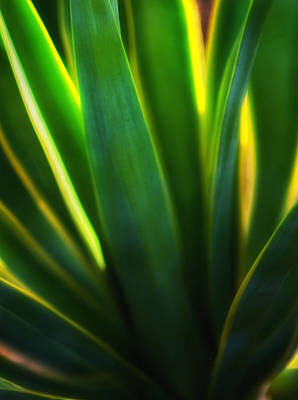 Photograph - Backlit Agave  by Bob Coates