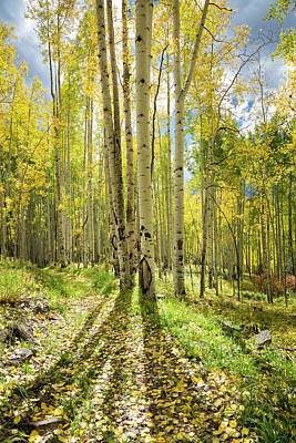 Backlit Aspen Trail Art Print
