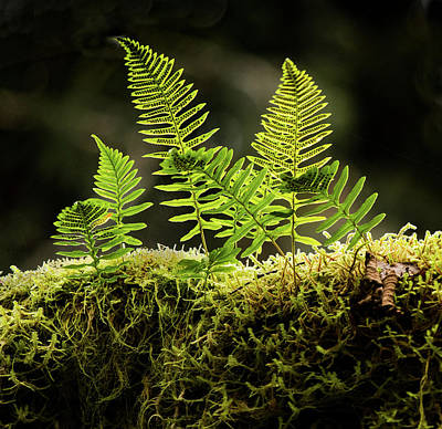 Photograph - Backlit Baby Ferns by Jean Noren