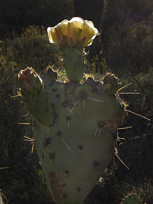 Photograph - Backlit Cactus Flower by Jean Noren