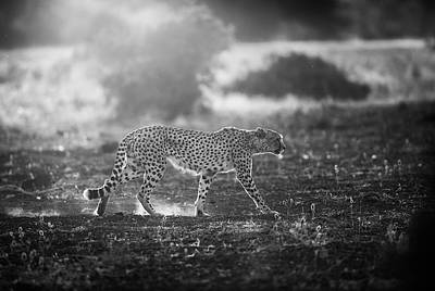 Backlit Cheetah Art Print by Jaco Marx