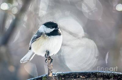 Photograph - Backlit Chickadee by Cheryl Baxter