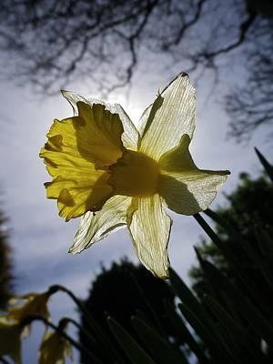 Photograph - Backlit Daffodil by Richard Brookes