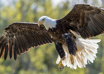 Photograph - Backlit Eagle by Ian Sempowski