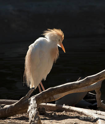 Photograph - Backlit Egret by Sandra Bronstein