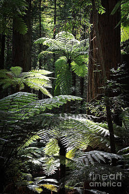 Photograph - Backlit Ferns by Nareeta Martin