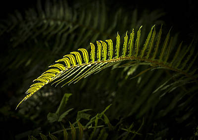 Forest Floor Photograph - Backlit Firn by Jean Noren