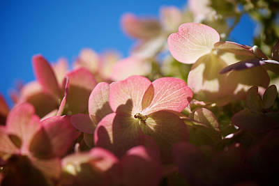 Kelowna Photograph - Backlit Hydrangea by Lisa Knechtel