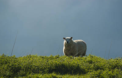 Winter Animals Royalty Free Images - Backlit Lakeland Ewe Royalty-Free Image by Paul Cullen