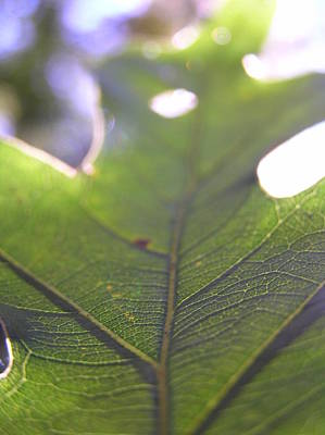 Mountians Photograph - Backlit Leaf by Dustin K Ryan