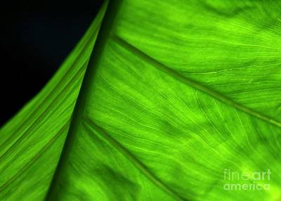 Photograph - Backlit Leaf by Sabrina L Ryan