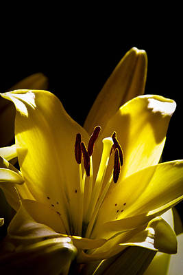 Lilies Royalty-Free and Rights-Managed Images - Backlit Lily by David Patterson