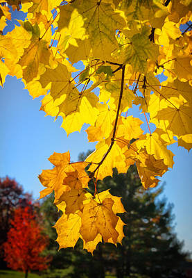 Photograph - Backlit Maple Branch by Carolyn Derstine