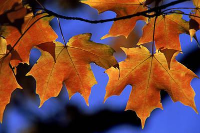 Backlit Maple Leaves Art Print by Paul Pobiak