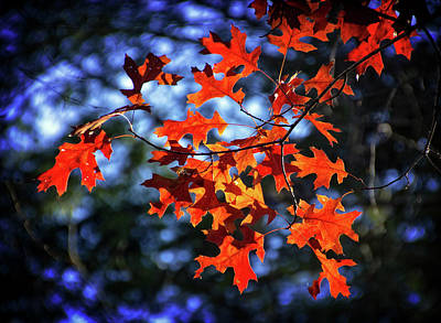 Photograph - Backlit Oak Leaves In Autumn by Carolyn Derstine