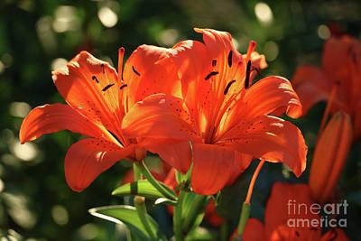 Photograph - Backlit Orange Lilies by Carol Groenen