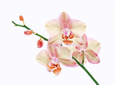 Photograph - Backlit Orchids On White by Carolyn Derstine