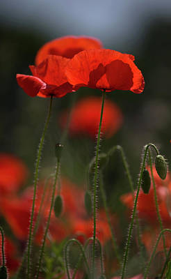 Photograph - Backlit Poppies by Peter Walkden