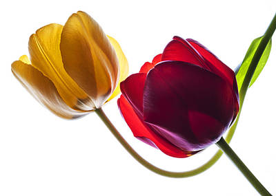 Photograph - Backlit Red And Yellow Tulip On White by Vishwanath Bhat