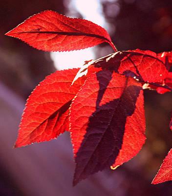 Backlit Red Leaves Art Print by Kami McKeon