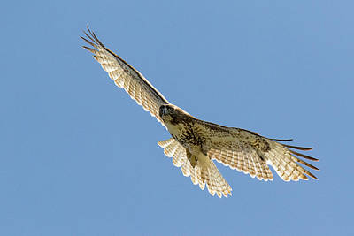 Achieving - Backlit Red Tailed Hawk on the Hunt by Tony Hake