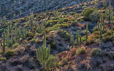 Photograph - Backlit Saguaro Cactus by Dave Dilli