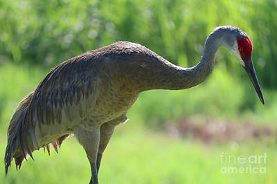 Photograph - Backlit Sandhill by Carol Groenen