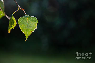 Photograph - Backlit Shiny Leaf by Kennerth and Birgitta Kullman