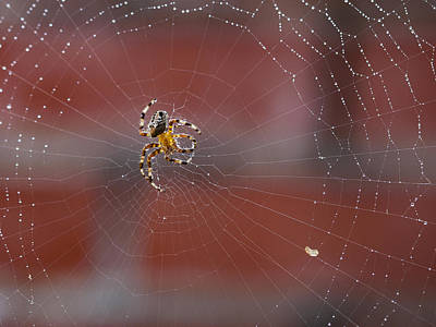 Photograph - Backlit Spider  by Jean Noren