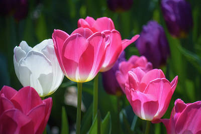 Photograph - Backlit Tulips by James Barber