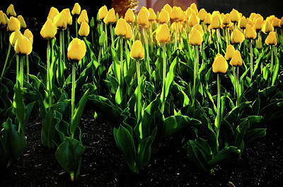 Photograph - Backlit Tulips Two by Scott Sawyer