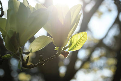 Photograph - Backlit White Magnolia by Joni Eskridge