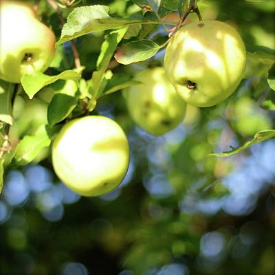 Photograph - Backyard Apples by Tracy Male