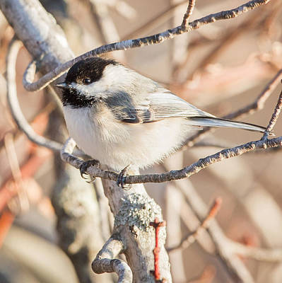 Square Photograph - Backyard Birds Black Capped Chickadee Square by Bill Wakeley
