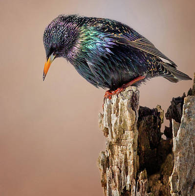Starlings Photograph - Backyard Birds European Starling Square by Bill Wakeley