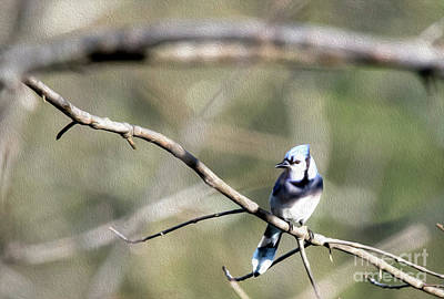 Digital Art - Backyard Blue Jay Oil by Ed Taylor