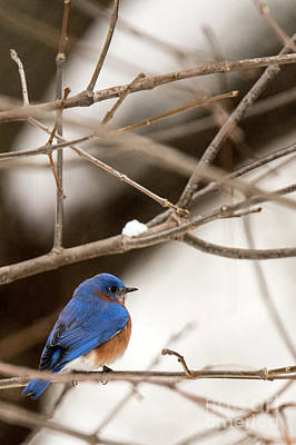 Photograph - Backyard Bluebird by Ed Taylor