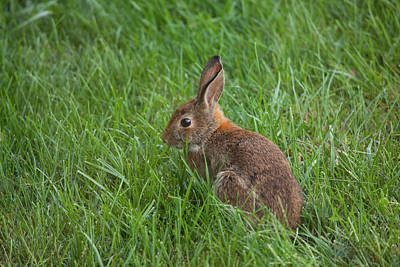 Photograph - Backyard Bunny by Karol Livote