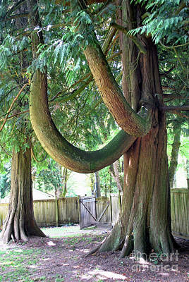 Photograph - Backyard Cedar by Bill Thomson