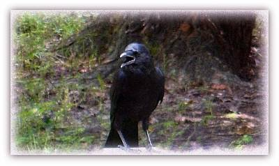 Mixed Media - Backyard Crow by YoMamaBird Rhonda