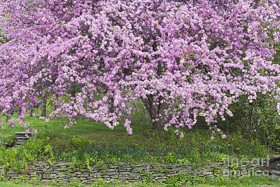 Photograph - Backyard Flowering Crabapple by Alan L Graham