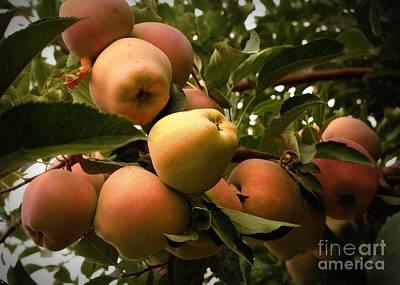 Backyard Garden Series - Apples Cluster Art Print