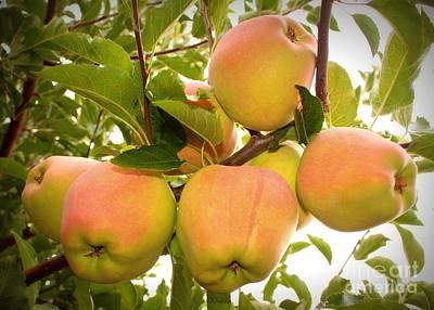 Backyard Garden Series - Apples In Apple Tree Art Print