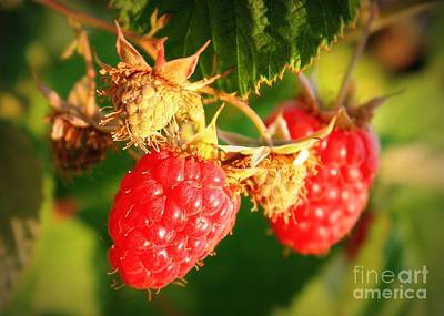 Backyard Garden Series - Two Ripe Raspberries Art Print by Carol Groenen