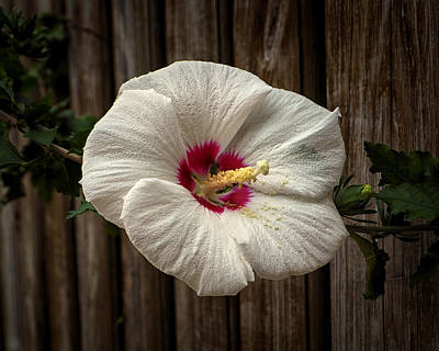 Photograph - Backyard Hibiscus Art Print by Bill Swartwout