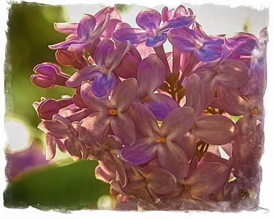 Photograph - Backyard Lilac by Richard Engelbrecht